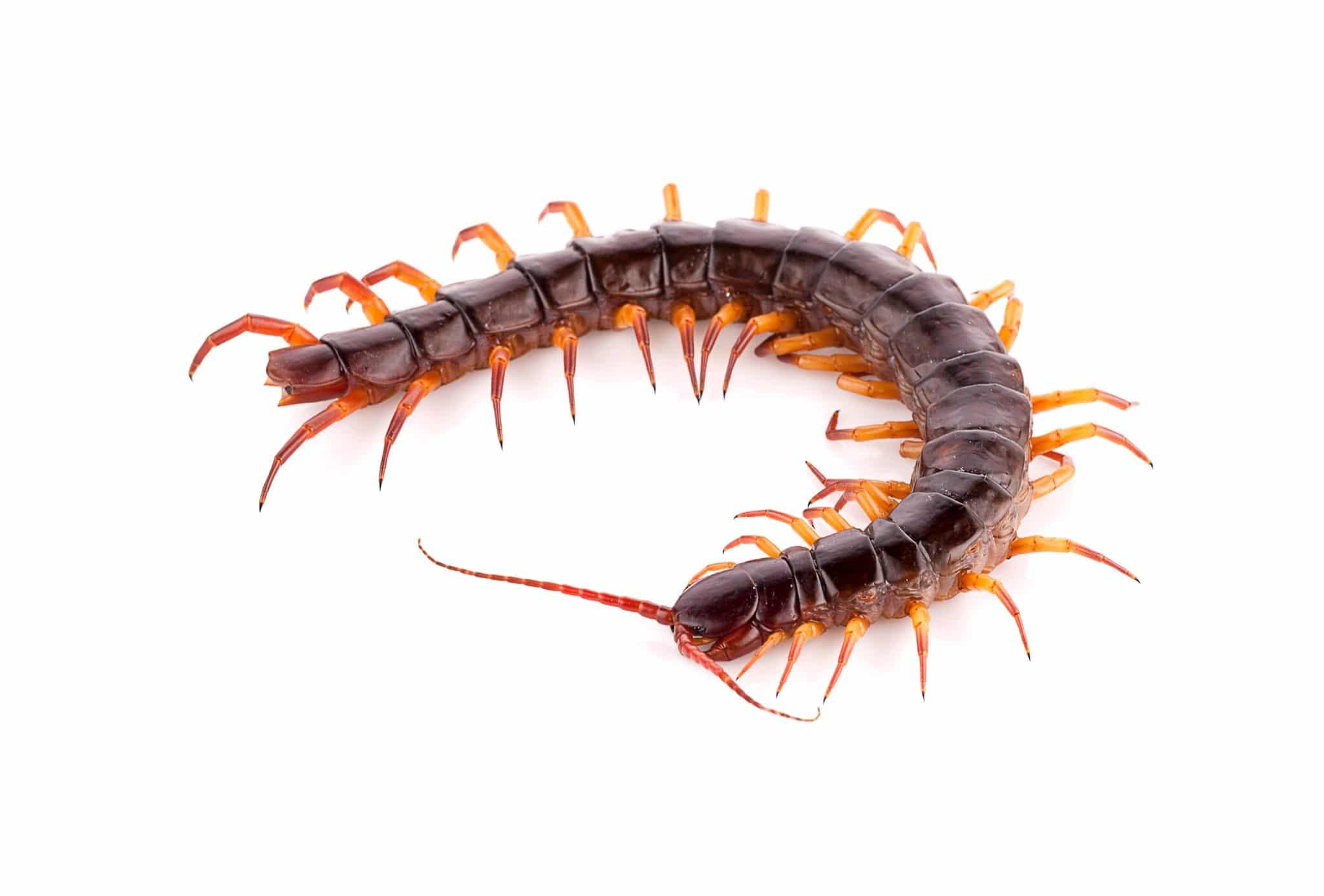 Hawaii Centipede Problem Aloha Pest